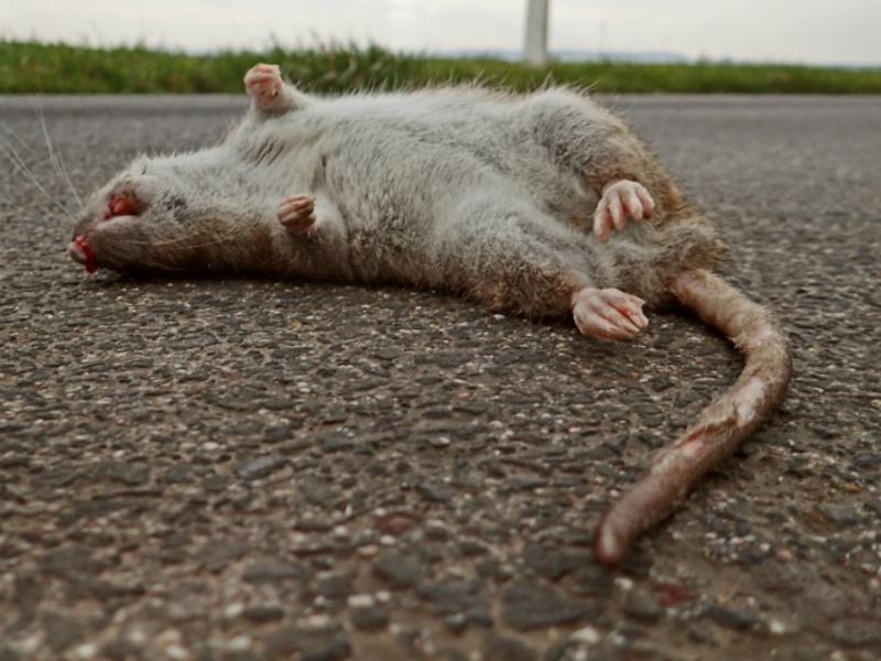 Ученые: Разносчиками чумы по средневековой Европе были не крысы