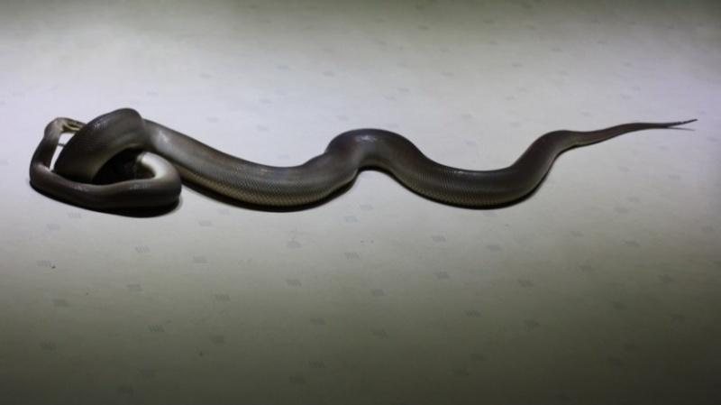 Змеи превратили грузинский Кутаиси в огромный террариум