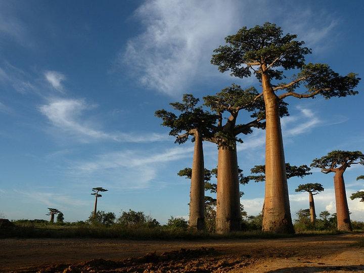 В Африке начали гибнуть тысячелетние баобабы. Почему — никто не знает (дополнено)