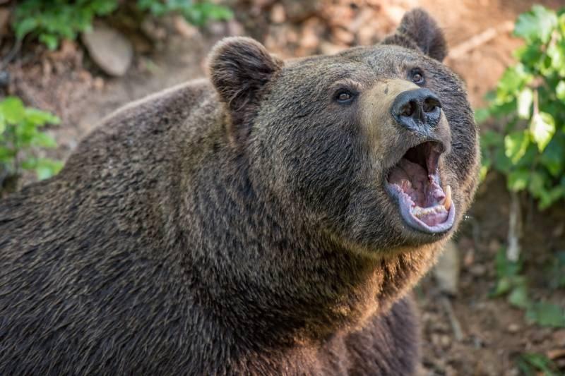 Американский охотник нетрадиционной ориентации и классический русский медведь